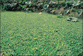 ウォーターレタスとも呼ばれ、近年各地で見られるようになったボタンウキクサ