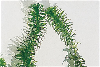 オオカナダモ 節間が短く、葉は柔らかい輪生葉3-6(普通4)