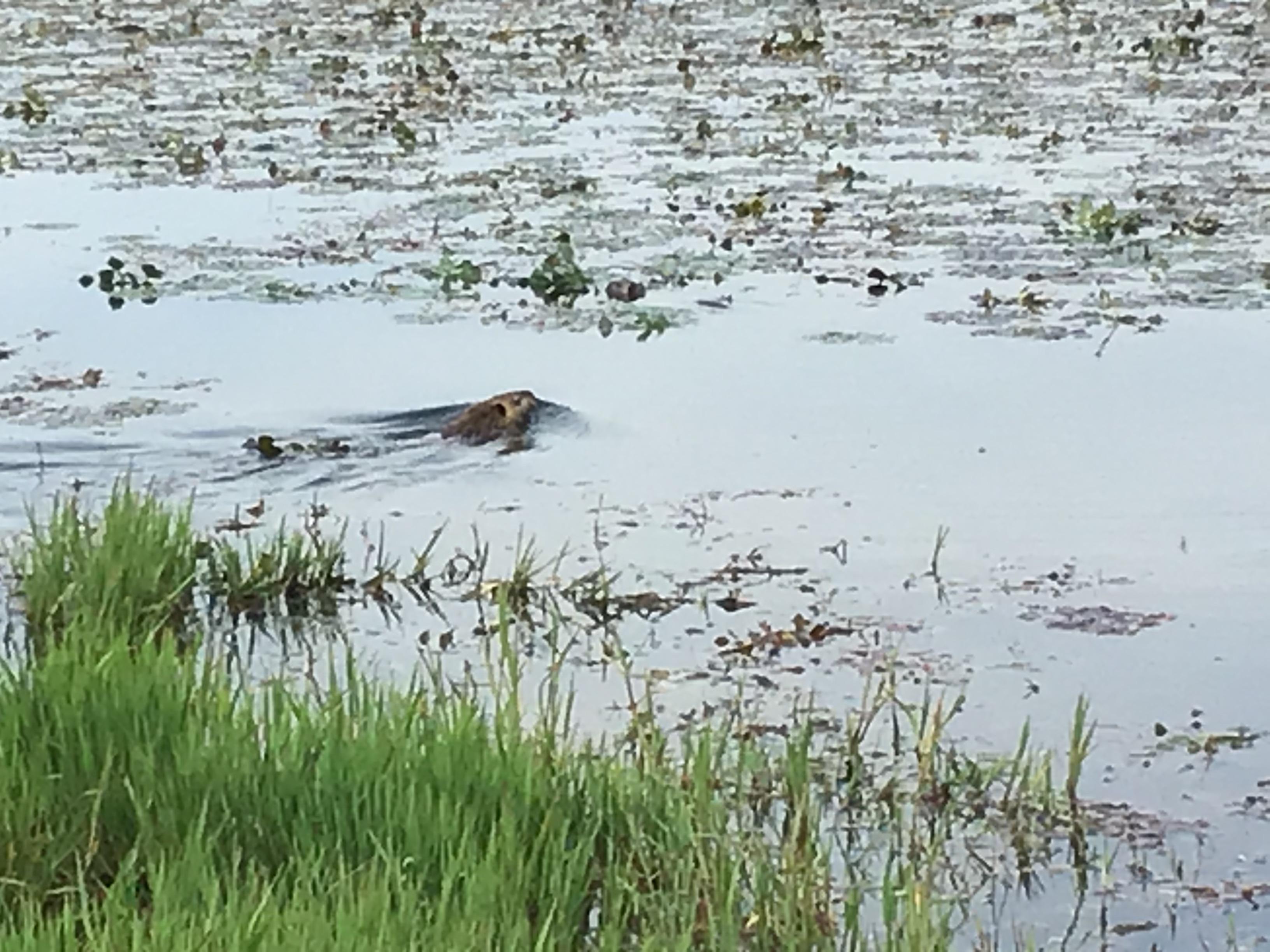 皿池に繁殖するヌートリア。かなりの数が・・今回見回しただけで4匹。数人の児童も見れました。40~50cmぐらいかな。