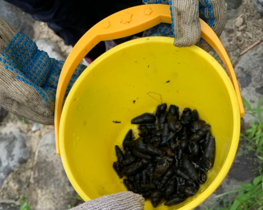 カワニナは、スジエビやヌマエビの御馳走です。「蛍は人里に出る」とはこんなに近所に餌があるんだね。