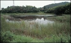 豊かな抽水植物帯のある池