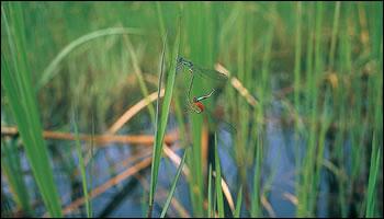 ため池はトンボにとって大切な生息空間