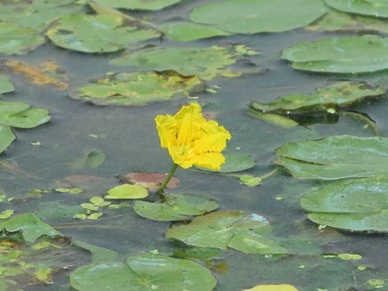 【アサザの花が咲いたら👏】アサザは夏から秋ごろの朝方に黄色い可愛い花をつける水草で、万葉集にも登場。