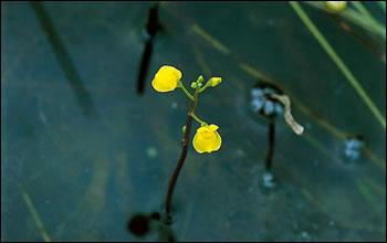 ノタヌキモの花