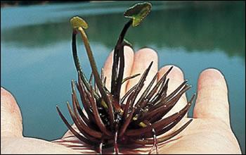 ガガブタの殖芽