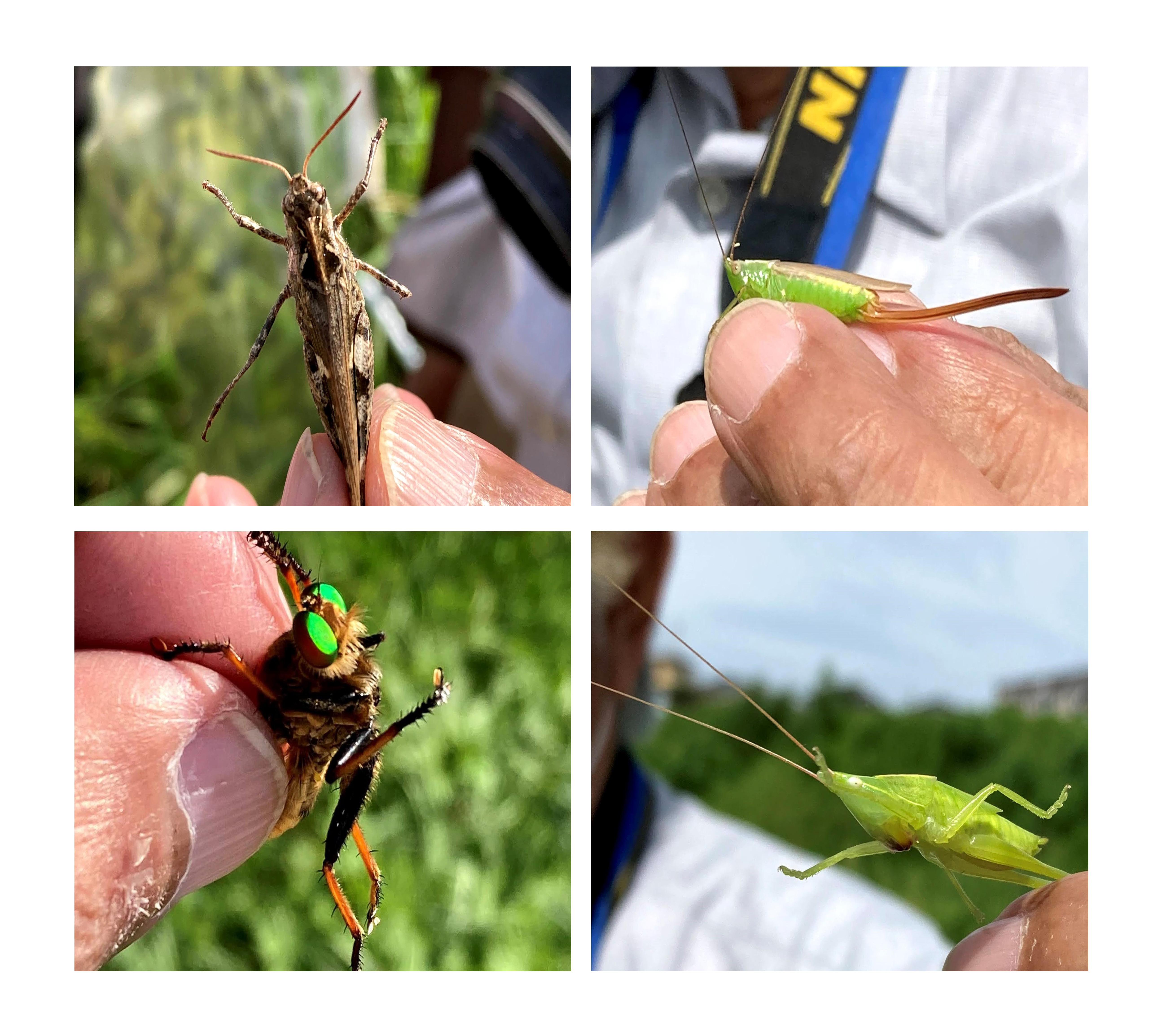 左上:クルマバッタモドキ 左下:アオメアブ(すごい蛍光色!)   右上:オナガササキリ 右下:クビキリギス
