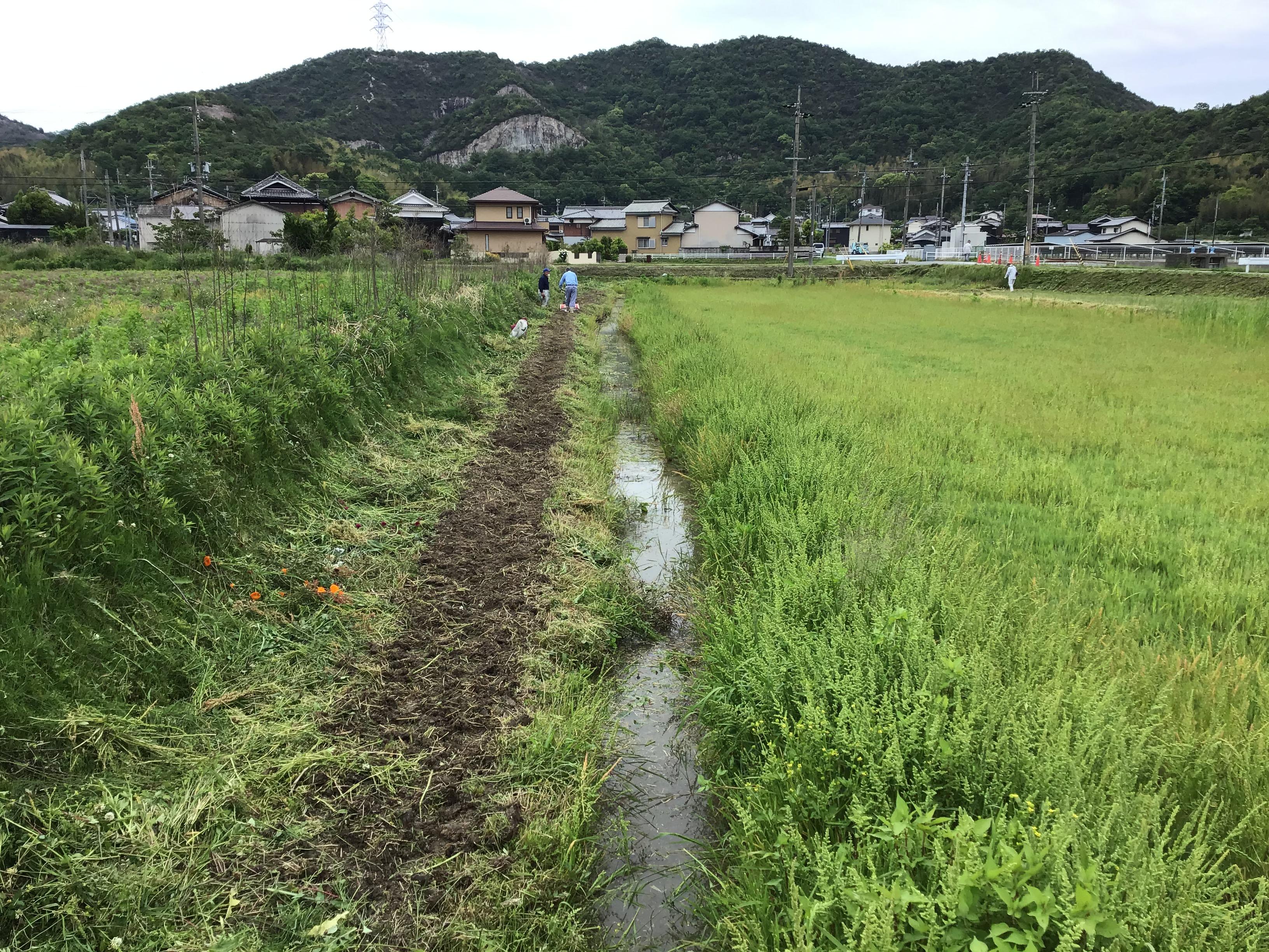 ビオトープ横の畔を里芋植付けのため耕す北山ため池協議会駒井会長