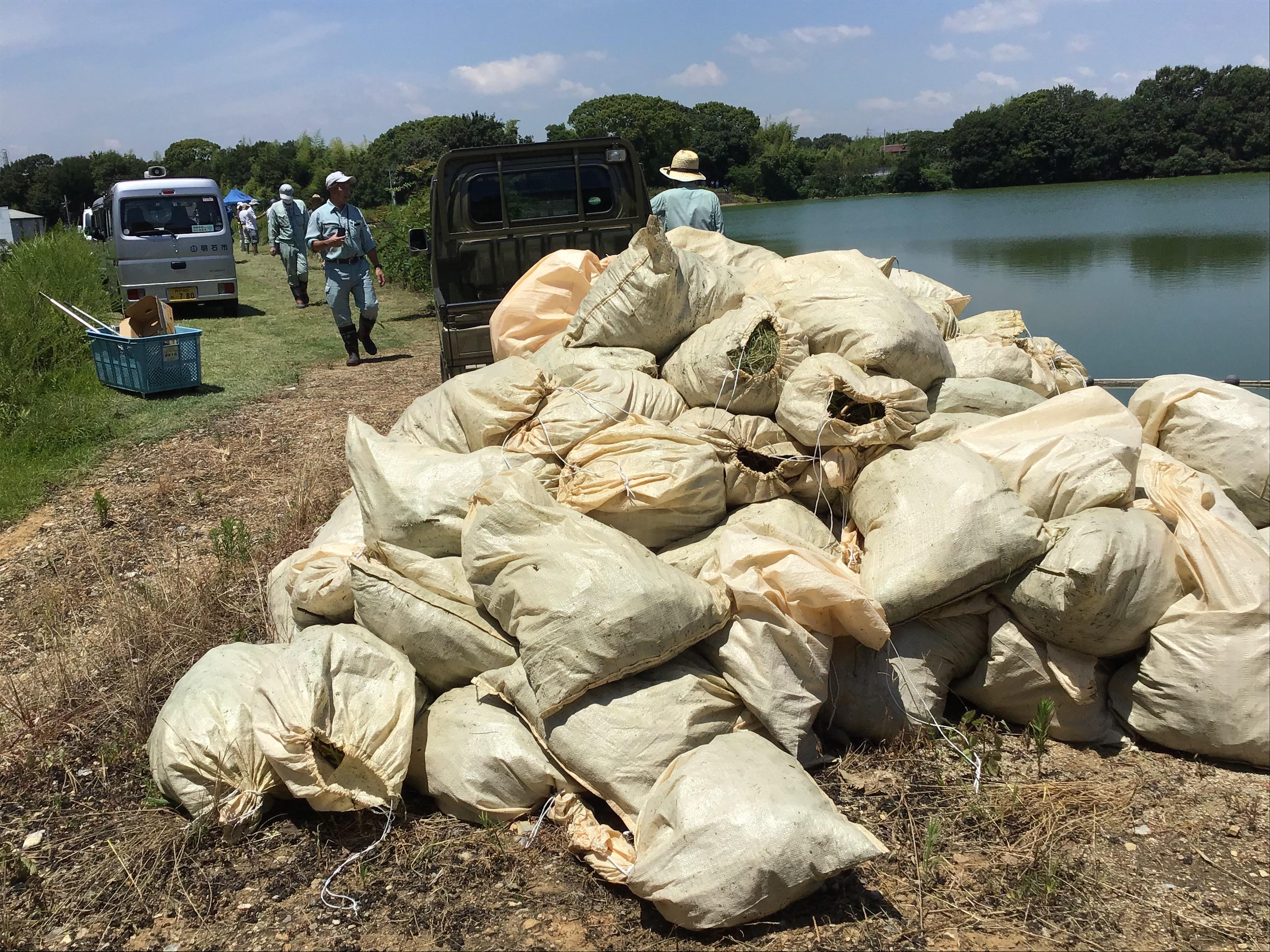 大量のナガエを入れた土のう袋。こちらを向いているのは、明石市環境部環境総務課の植田係長。