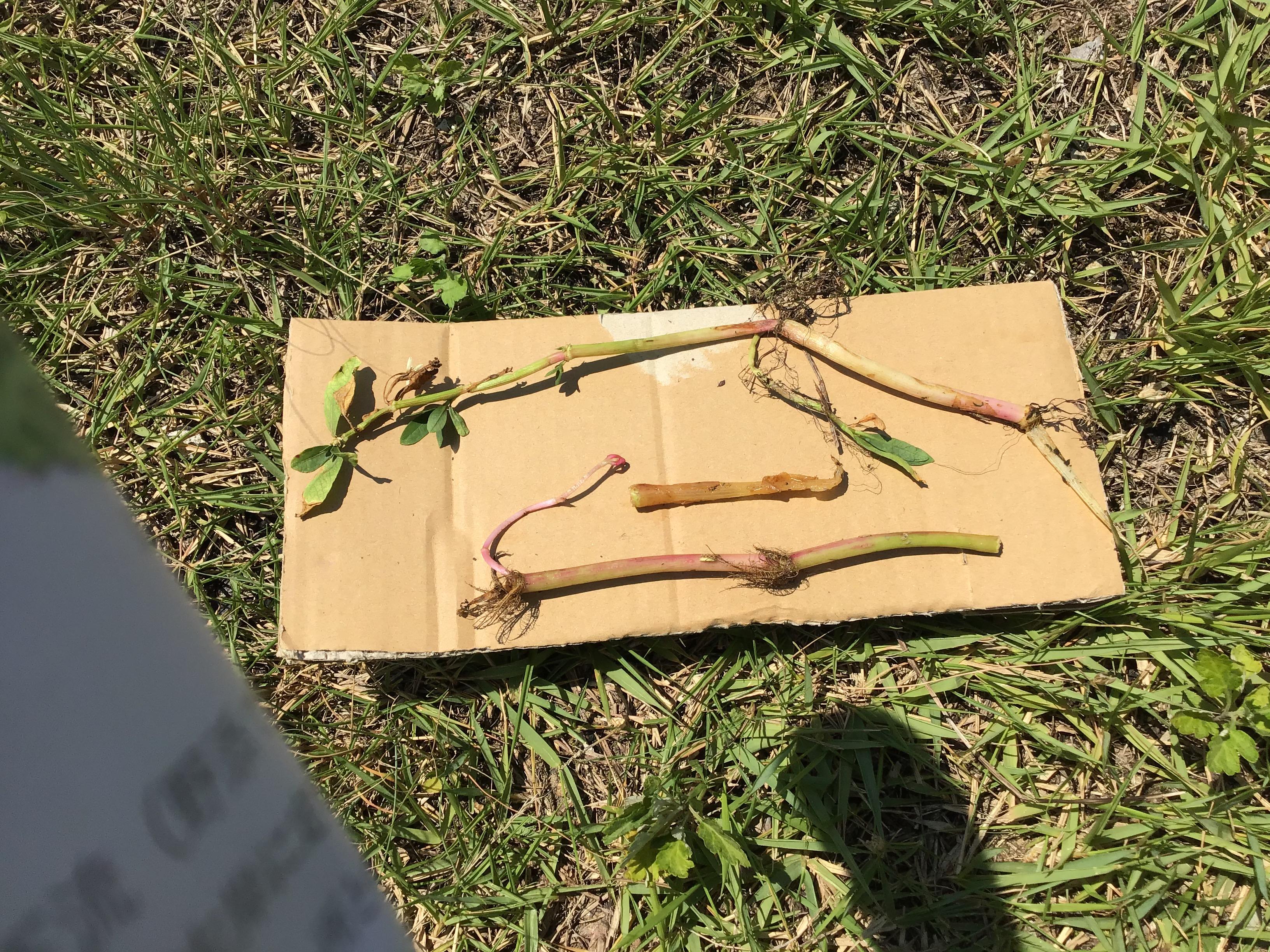 特定外来生物のタガエツルノゲイトウ:兵庫・水辺ネットワークの碓井先生が節や根について説明されました。
