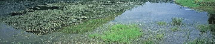多くの種類のトンボが出現する植生豊かなため池