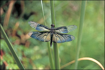 黒っぽく輝く翅が特徴のチョウトンボ