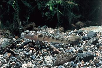 ヨシノボリの湖沼陸封型の一種と見られるため池のトウヨシノボリ