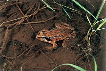 丘陵地の池や水田で早春に産卵するニホンアカガエル