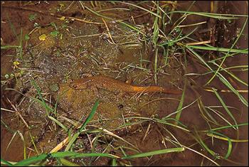 浅い池や山すその水たまりに産卵するカスミサンショウウオ