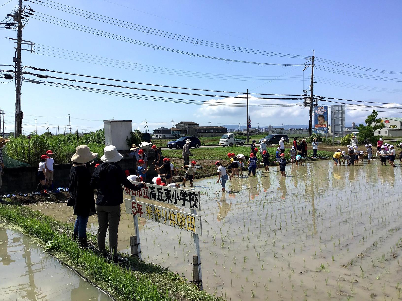 ほぼ田植え完成。『明石市高丘東小学校5年米作り体験田』看板設置。横の親御さんも次回参加してもらいましょうか。背景に淡路島が見えるよ。左側には明石海峡大橋が。