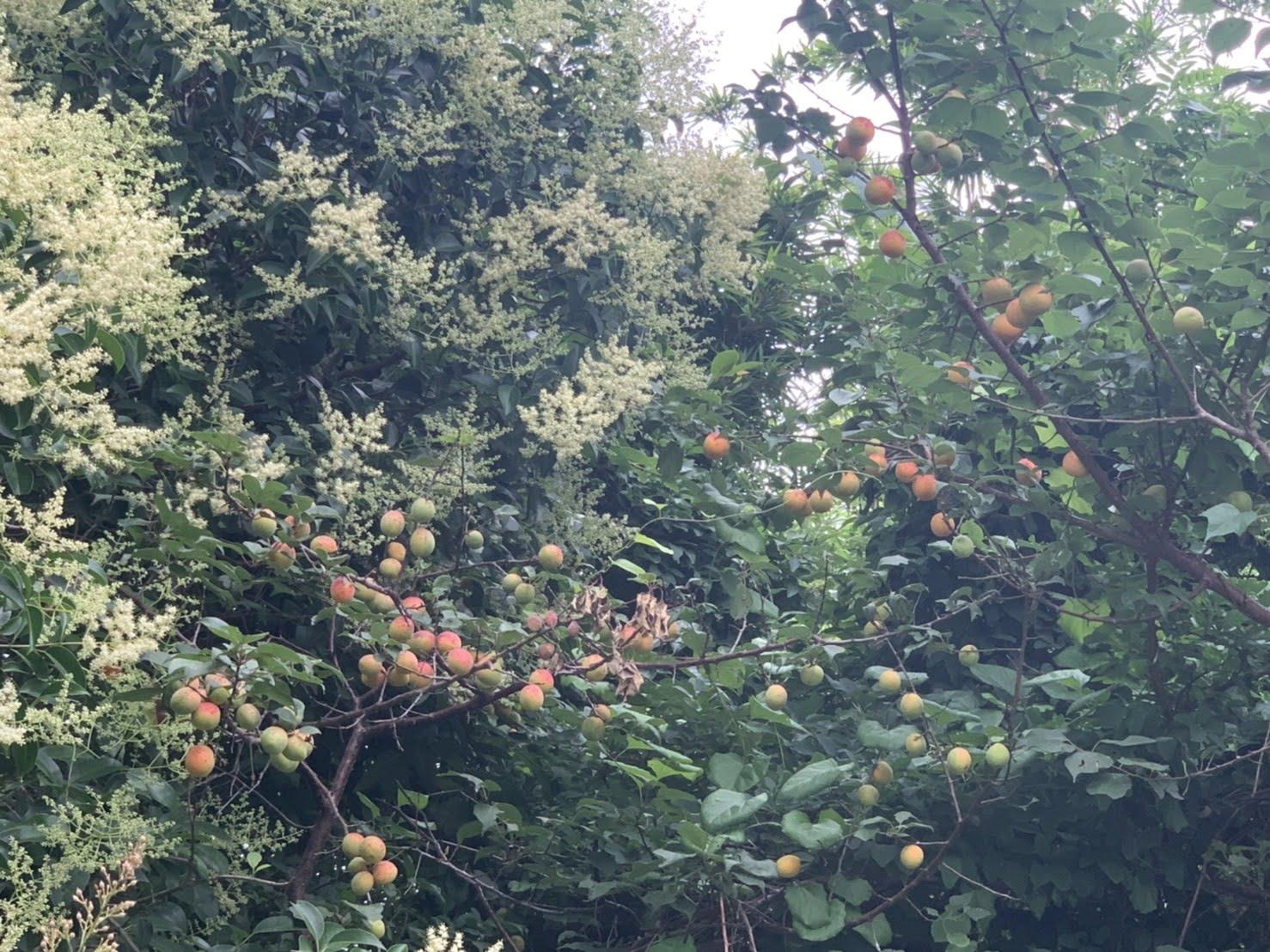 釜谷池にある梅