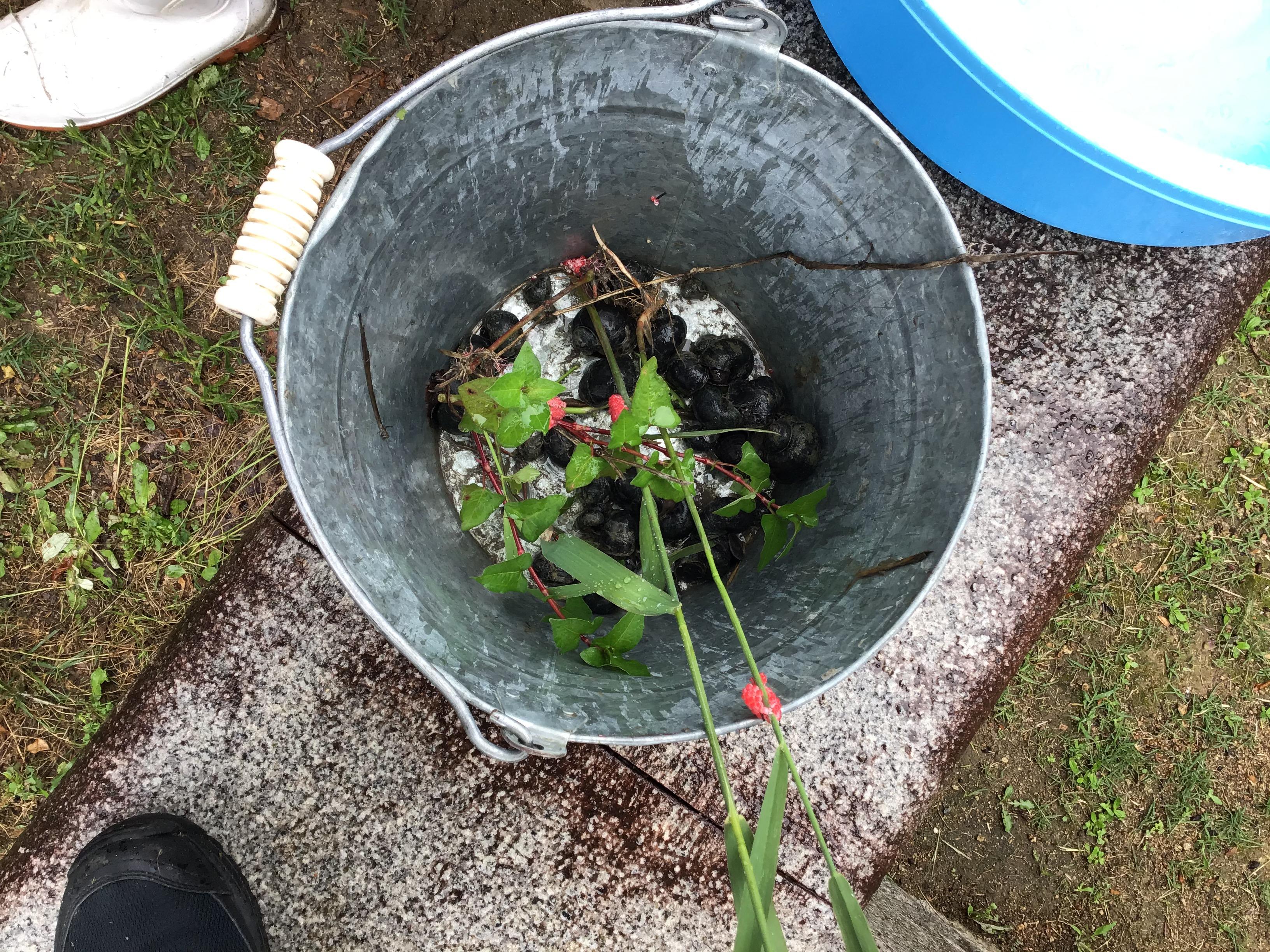 地元の黒田阿弥陀西部ため池協議会長が田んぼの稲苗に被害を及ぼすジャンボタニシ(スクミリンゴガイ)と卵(ピンク色)について少し説明。