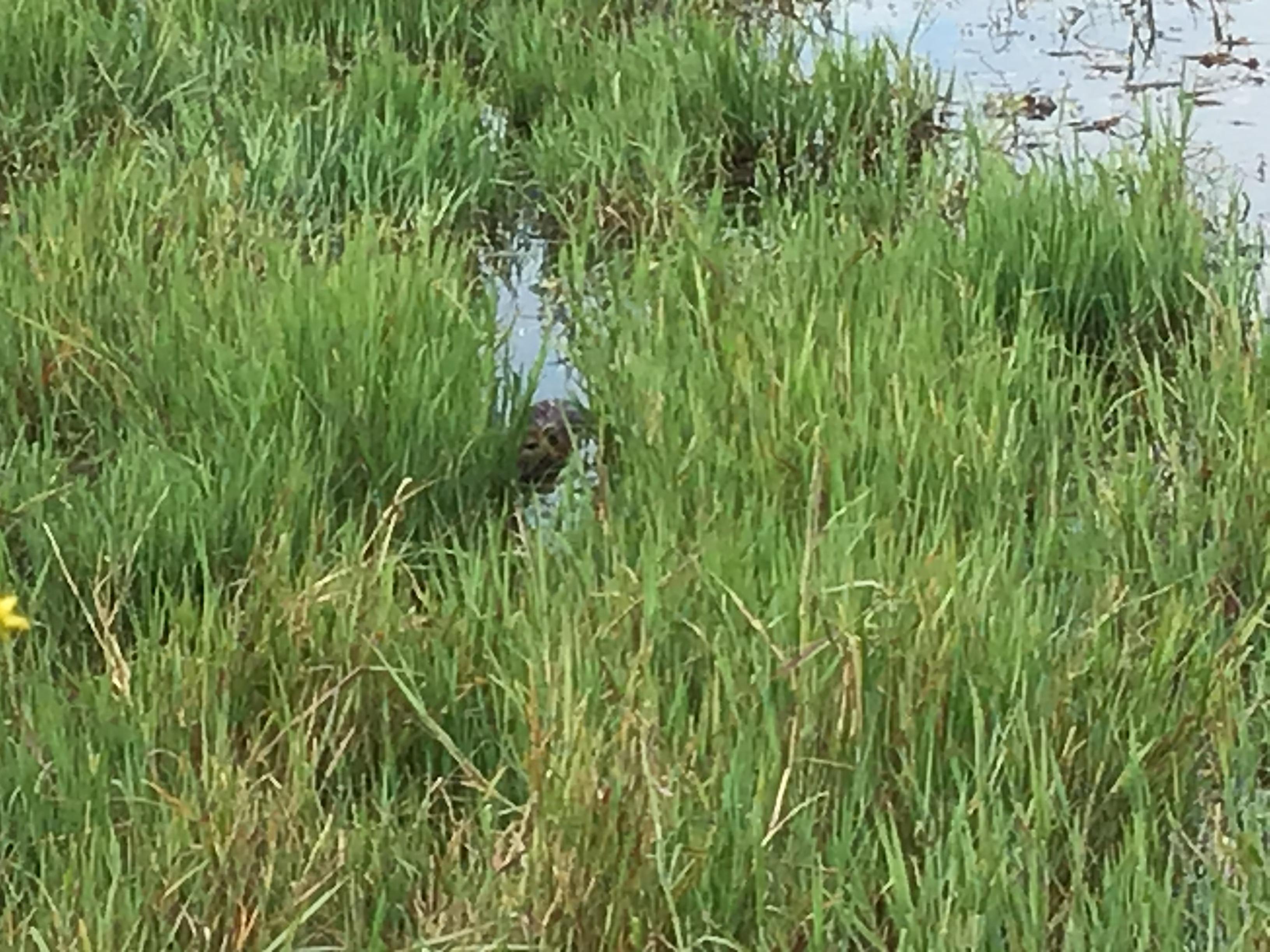 【付録】皿池の草の間からヌートリアがこちらを向いてます。『また来てねバイバイ』特定外来生物です。
