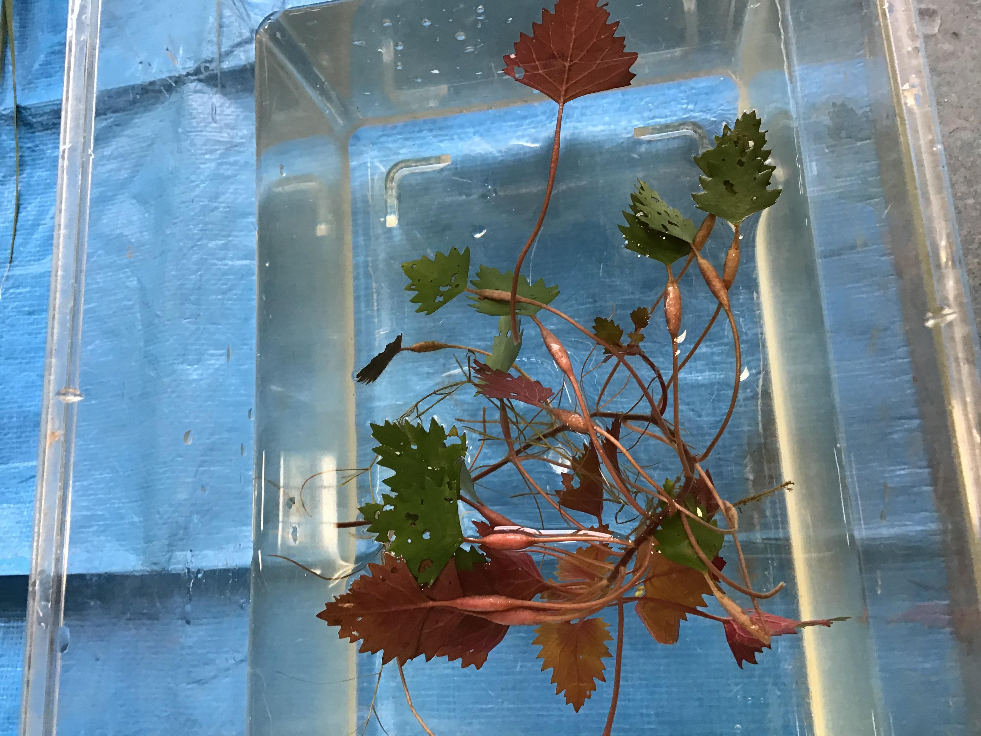 【参考】碓井先生説明の菱。ひし形の葉っぱの下のふくらみは、浮輪の役目をします。明石のはらくらぶの黒ちゃん(黒木さん)が皿池で胴長履いていても背中から水が入って採取してくれたんだぞ。感謝