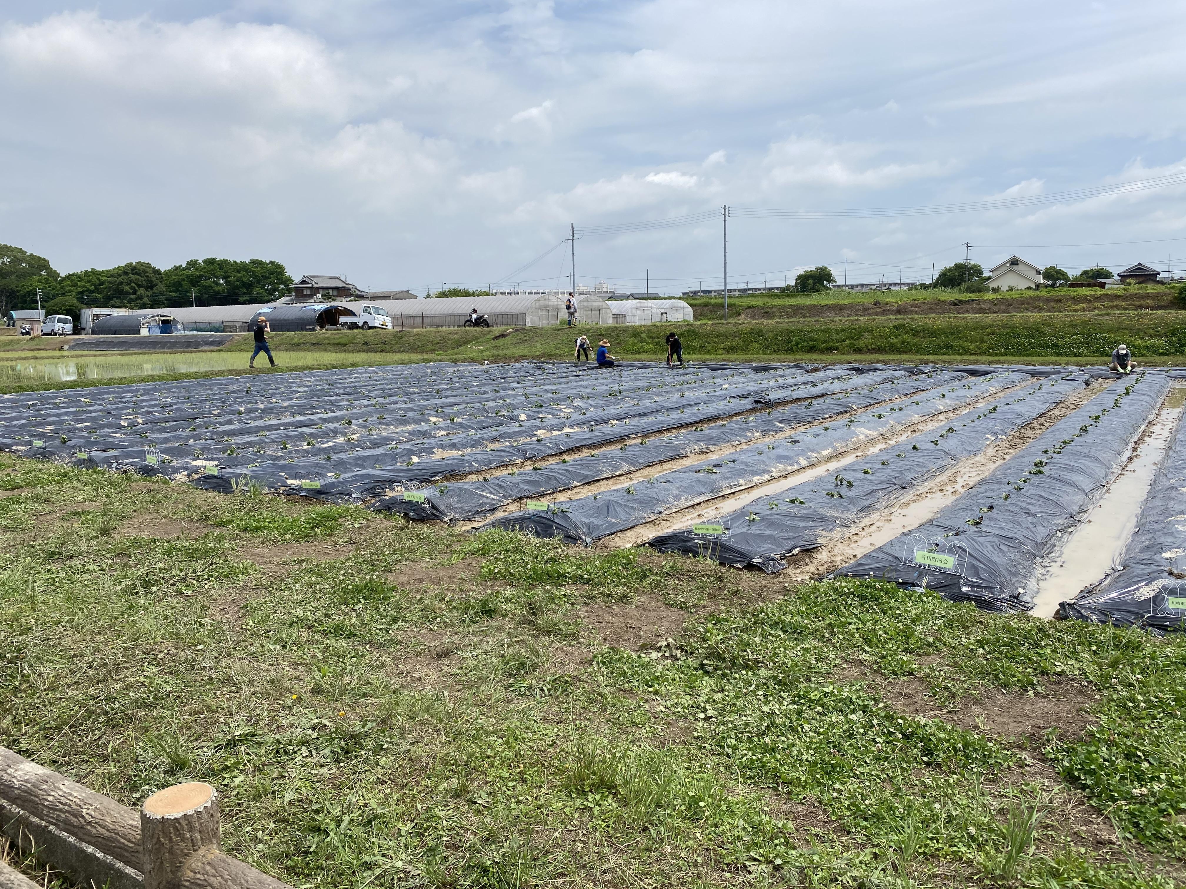 立派なさつま芋畑が完成。全部で1反弱。17町内会で植付10mに20本/1町内。1畝を2町内会に分配。加古川市北部の志方町・平荘町・上荘町は、イノシシ対策が大変です。ここは大丈夫かな。